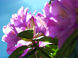 Sunlit Rhododendran